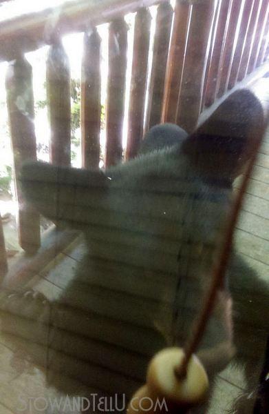 daytime-sighting-bears-in-gatlingburg