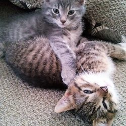 tabby gray kitten and tabby brown kitten ttens | stowandtellu