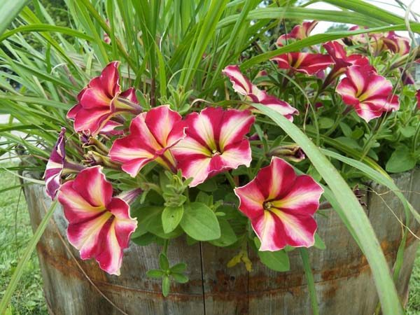 Unique container garden ideas with herbs and flowers combined | Cha-ching petunia and lemon grass | stowandtellu.com