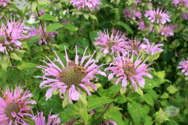 diy-native-garden-bee-balm-bergamot