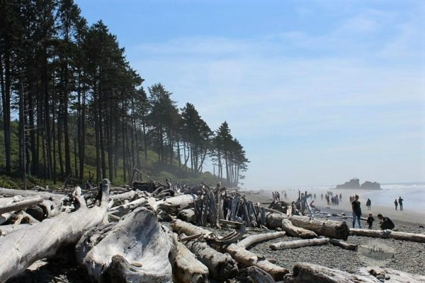 pine-trees-driftwood-ruby-beach