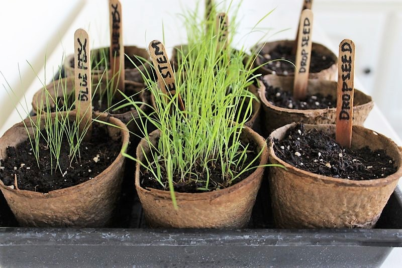 Grow ornamental grass from seed | how to start ornamental grass indoors | stowandtellu.com