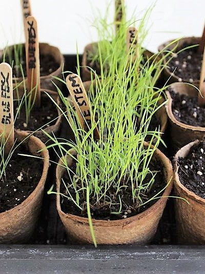 How to grow ornamental grass from seed | How to start prairie grass from seed | stowandtellu.com